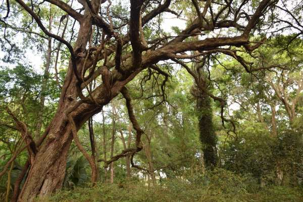 large old oak tree at Kanapaha Botanical Gardens